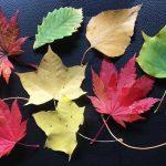 ニセコの紅葉